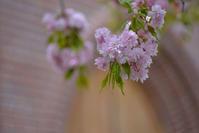 八重桜 - ∞ infinity ∞