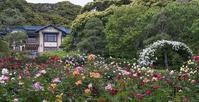 鎌倉文学館のバラ - エーデルワイスPhoto