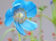 箱根湿生花園の青いケシ - エーデルワイスPhoto