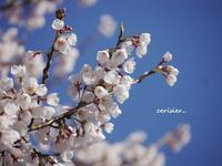 圧倒的桜☆2018・・・時の重なり - 花が教えてくれたこと