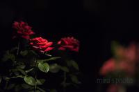 赤い薔薇をあなたに・・。 - MIRU'S PHOTO
