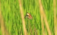 オオセッカー2 - barbersanの野鳥観察
