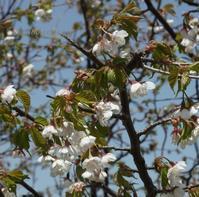 蔵王のミネザクラ 「圧倒的桜。2018」(^^♪ - 標高480mの窓からⅡ