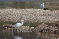 近所の川に今季もタヒバリ - 四十雀の欣幸 ~野鳥写真日記~