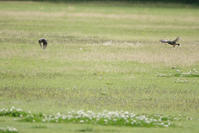 別府沼公園の野鳥 - 何でも写真館