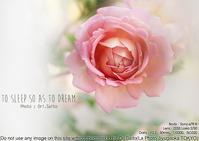 5月の花歩きは薔薇か紫陽花か?日比谷花壇大船フラワーセンター sony α7R III + ZEISS Loxia 2/50一本勝負 - 東京女子フォトレッスンサロン『ラ・フォト自由が丘』-写真とフォントとデザインと現像と-