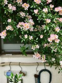 つるバラ'のぞみ'の物語 - 東京ベランダ通信