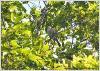 ウグイス 新緑に見え隠れ - 野鳥の素顔 <野鳥と・・・他、日々の出来事>