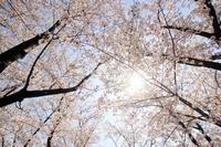 圧倒的桜。2018 - 幻に魅せられて…