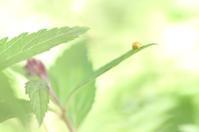 シモツケと黄色天道虫 - 心 色