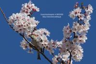 お花見鳥 ⑥ 染井吉野&ニュウナイスズメ(オス) - 花野鳥風月MISCHEH