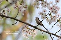 お花見鳥⑧染井吉野&エナガ - 花野鳥風月MISCHEH