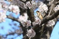 お花見鳥 ⑩ 染井吉野&モズ - 花野鳥風月MISCHEH
