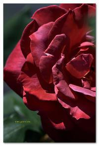 薔薇 ブラック・ティー - toru photo box