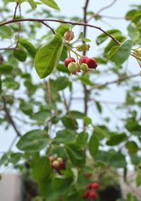 ジューンベリーの赤い実 - kukka  kukka