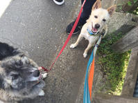またまた1週間 - 琉球犬mix白トゥラーのピカ