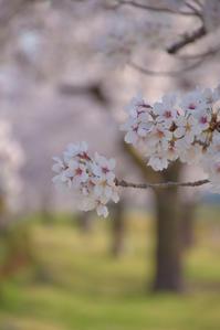 さくら散歩しましょ♪  圧倒的桜。2018 - 今日もカメラを手に・・・♪