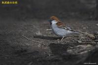 撮った鳥全部シリーズ 第二段 - 奥武蔵の自然