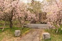 三条総合運動公園の桜 - the best shot Ⅳ