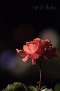 最終章*夜薔薇。 - MIRU'S PHOTO