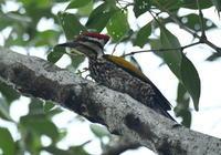 クロトキコウ ズアカミュビゲラ シンガポール - 可愛い野鳥たち 2