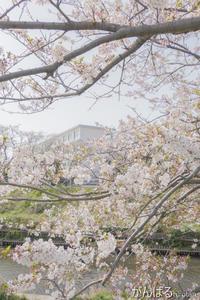 圧倒的桜。2018 - がんばるhirotan