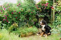 ロジャーのお座り^^;;;;; - Reon with LR & Roses