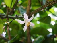 種なしかぼす今年も良い花が咲きました!蕾、花、着果の様子を現地取材! - FLCパートナーズストア
