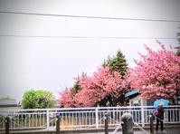 北国の桜🌸 - からっ風にのって♪
