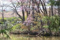 池の桜と鳥さん~5月の美瑛 - My favorite ~Diary 3~