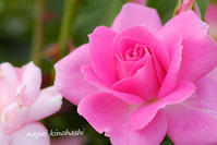 薔薇 #6 - 長い木の橋