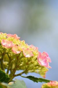 紫陽花の初恋 - 前を向いて「ひまわり」