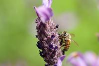 ミツバチ(松山総合公園) - かたくち鰯の写真日記2