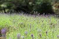 ラベンダーが開花しはじめています♪ - 神戸布引ハーブ園 ハーブガイド ハーブ花ごよみ
