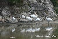 △池であった「クロツラヘラサギ」さん&「ヒバリシギ」さん&「セイタカシギ」さん♪他 - ケンケン&ミントの鳥撮りLifeⅡ