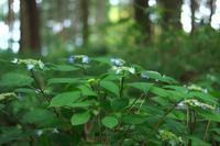 杉林の中のクロヒメ - MAKO'S PHOTO