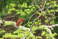 アカショウビンシーズン到来 - ひとり野鳥の会