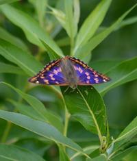 普通のコムラサキ 5月20日  - 超蝶