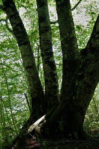 四本ブナの木 - tabi & photo-logue vol.2