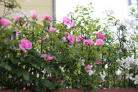 バラめっちゃ咲いてる~(泣) - my small garden~sugar plum~