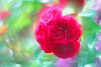 2018年 春薔薇 - D76  22゜C