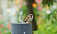 バラを愛でる(?)雀たち@神戸・六甲アイランド・ローズガーデン - たんぶーらんの戯言