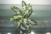 Aglaonema pictum 'Messiah' - PlantsCade -2nd effort
