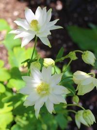 大切なオダマキがとうとう開花♪ - ペコリの庭 *