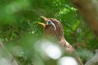 昭和記念公園のガビチョウ - *Toypoodle  x3 + Birds*