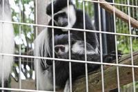 アビシニアコロブスの亜種と国内唯一のカオムラサキラングール(千葉市動物公園) - 続々・動物園ありマス。