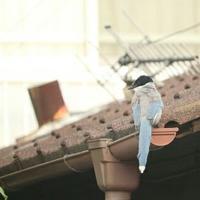 青い鳥 - 湘南気まま生活♪