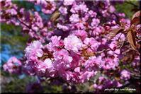八重桜 2(平岡樹芸センター) - 北海道photo一撮り旅