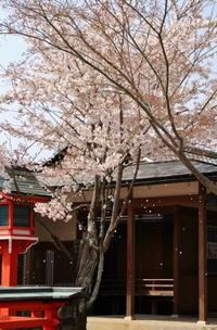 桜降る - ♪一枚のphotograph♪
