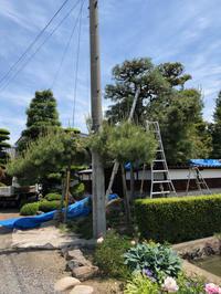 松の芽摘み - 三楽 sanraku 造園設計・施工・管理 樹木樹勢診断・治療